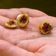 Undergraduate research award creates buzz around Penn State pollinator studies